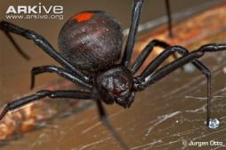 Close-up-of-female-redback-spider